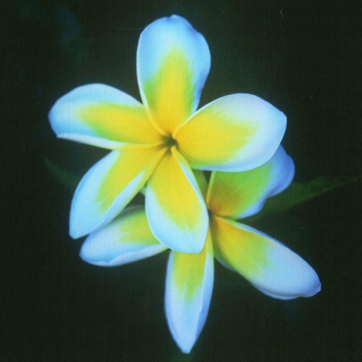 Hawaiian Flowers - Carlos' Art Works