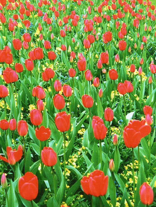 Tulips at Buckingham Palace - Carlos' Art Works