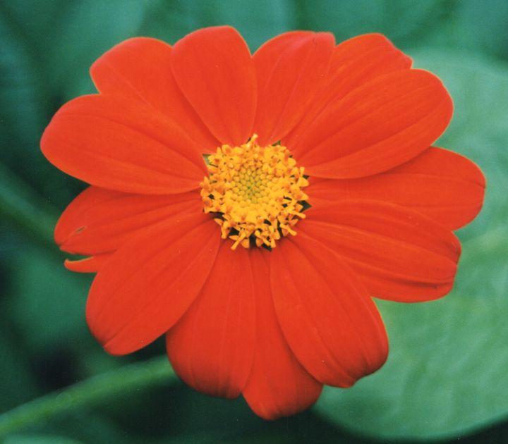 Orange Red Flower - Carlos' Art Works