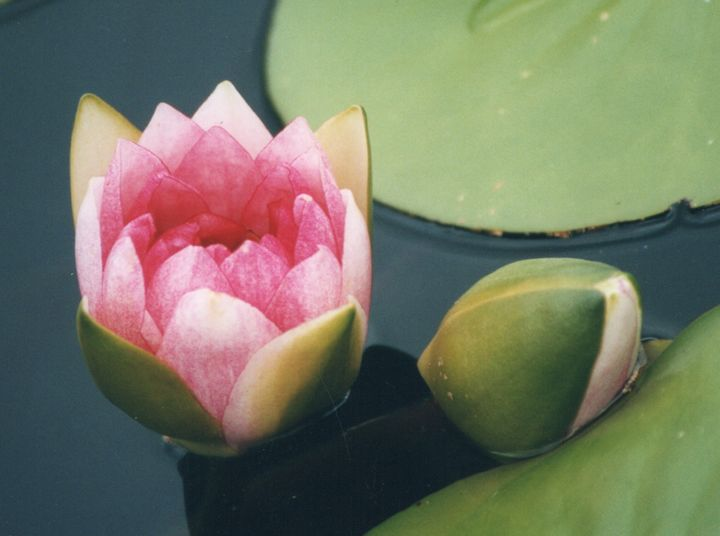 Light Pink Water Lily - Carlos' Art Works