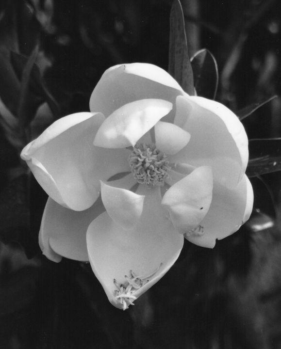 Magnolia - Carlos' Art Works