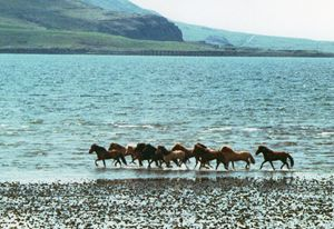 Icelandic Horses Running on Beach