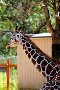 Relaxing Giraffe