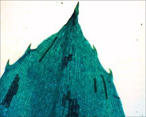 Hydrilla verticillata Leaf Tip