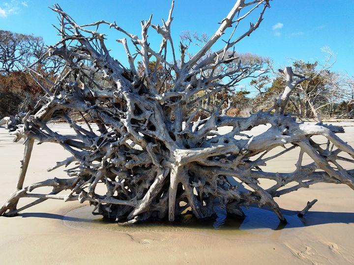 Roots On Driftwood Beach - David McCune Jr
