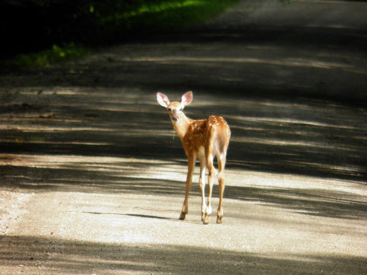 baby deer - HQ Photography