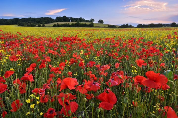 Poppies,summer field, - Tim Gartside Photography