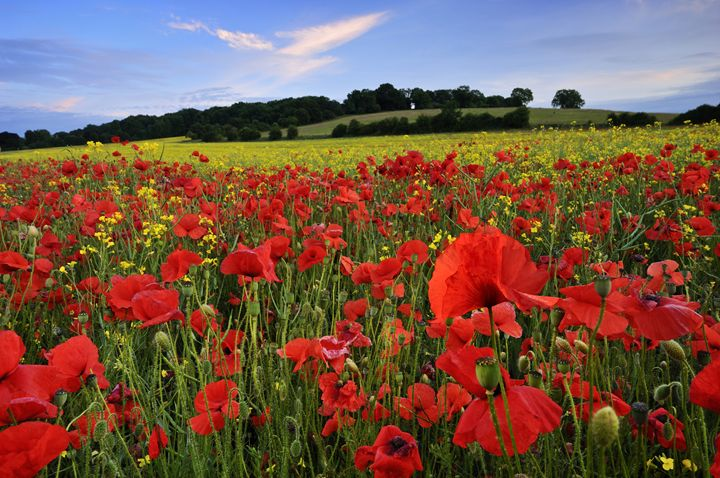 Poppies in summer field - Tim Gartside Photography