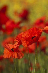 Poppies in summer field