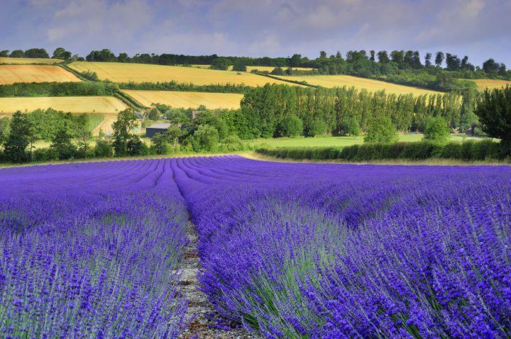 Lavender field, Kent - Tim Gartside Photography