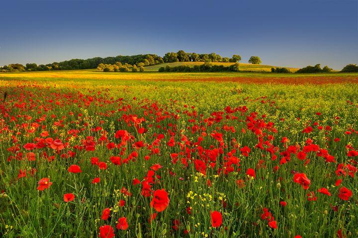 Poppies,summer field, - Tim Gartside Photography
