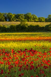 Poppies,summer field,