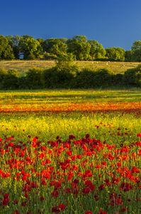 Poppies,summer field,