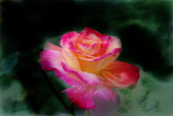 Yellow and Pink Rose - Don Wright