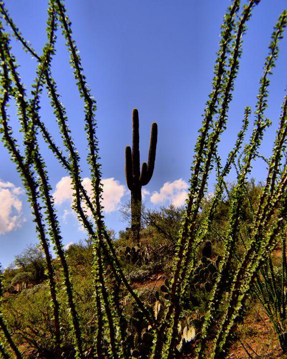 Saguaro through Ocotillo - John Wortman