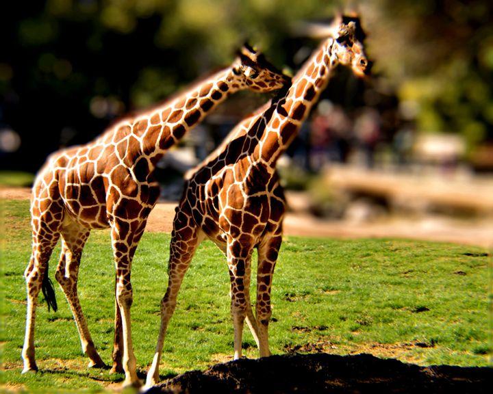 Giraffes - John Wortman