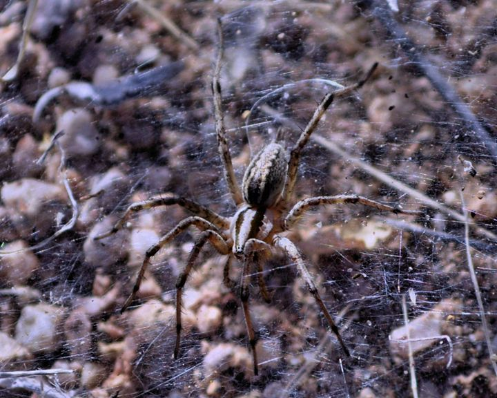 Desert Spider - John Wortman