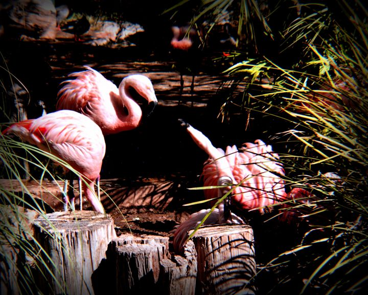 Flamingos - John Wortman