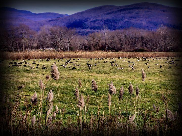 Geese in the Field - John Wortman