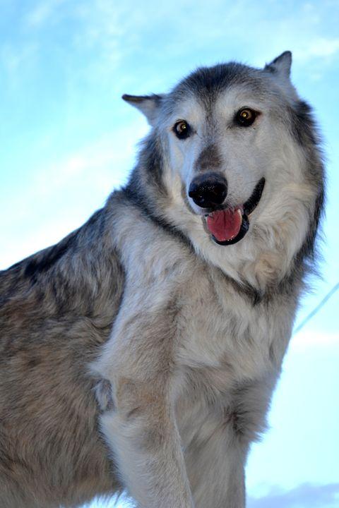 Wolves VII - Ethereal Organics...diane montana jansson
