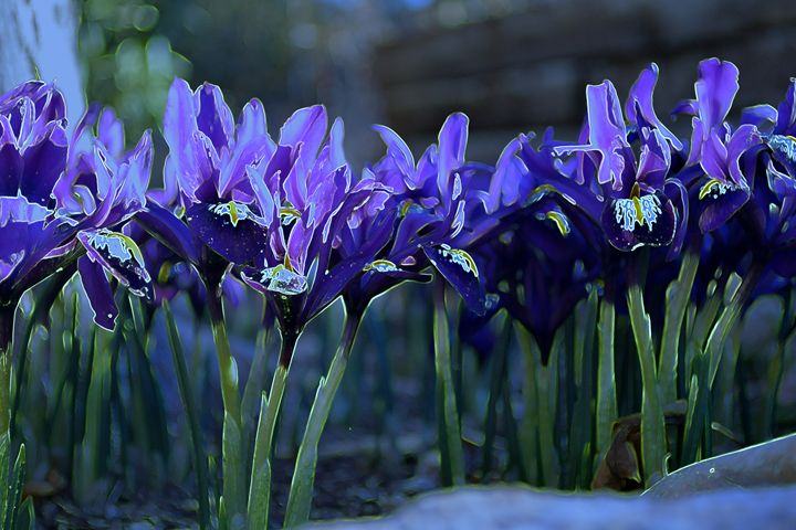 Iris V - Ethereal Organics...diane montana jansson