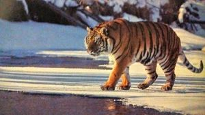 Glacial tiger