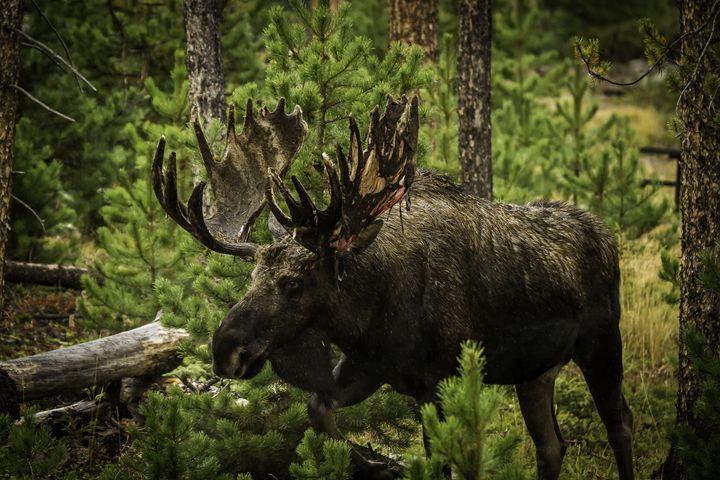 Fall Moose - Scott McKay Photography