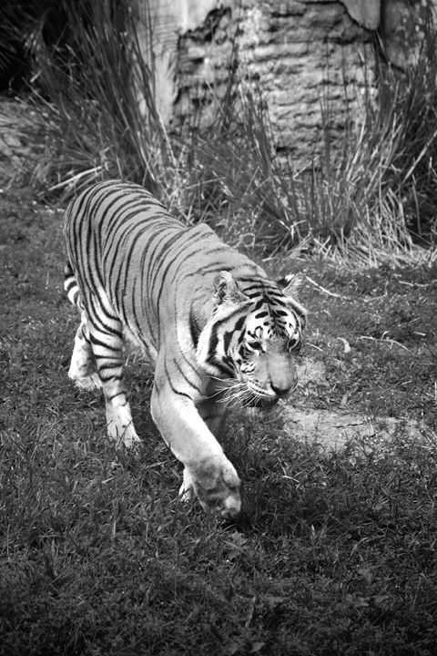 Tiger Black and White - Brent