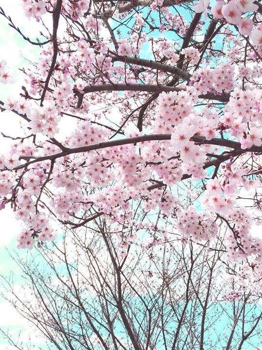 Cherry blossom - Japanese Artist