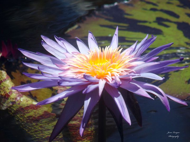 Purple Lotus - Jenni's Gallery
