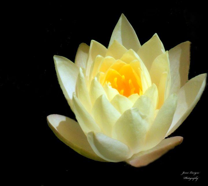 Yellow Water Lily - Jenni's Gallery