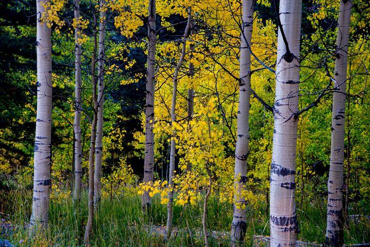 Aspen Fall Foliage - J Mendoza