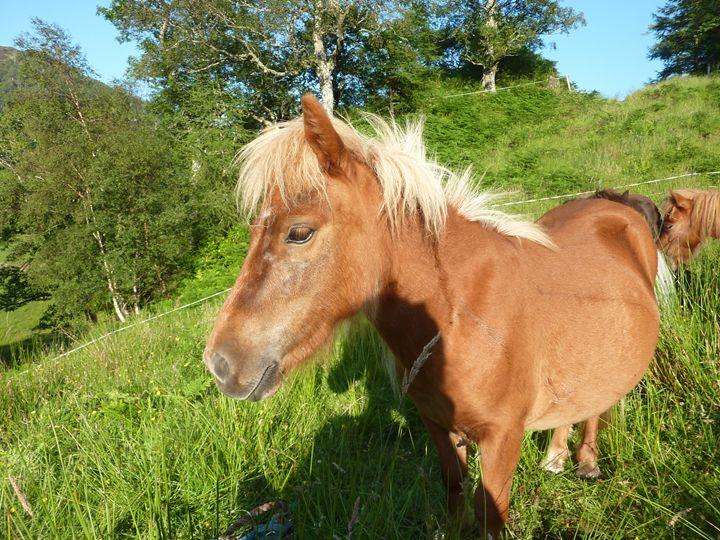 shetland ponies - josie ogle