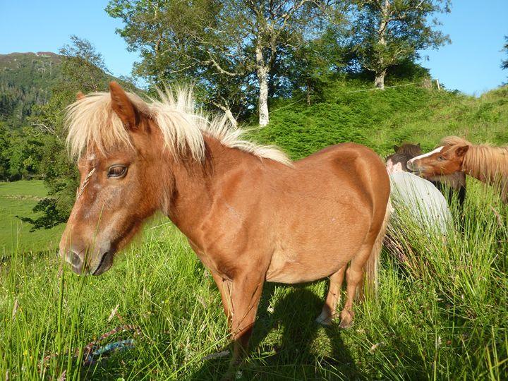 Shetland pony - josie ogle