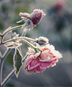 Frozen Bloom