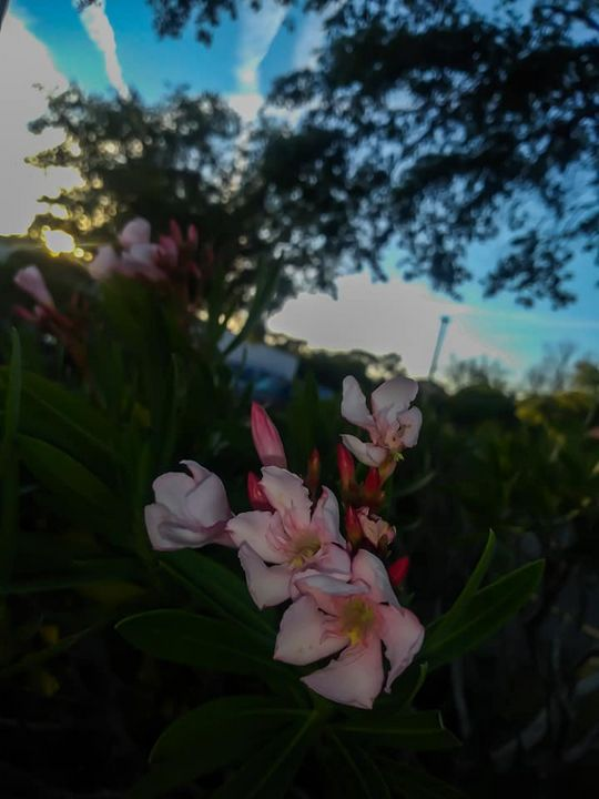 pink flower - liannas photography