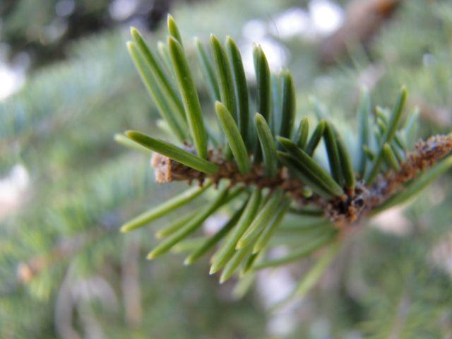 Evergreen Branch - Jilliart