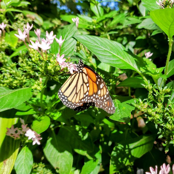Monarch  on flower - Kelley by the Sea
