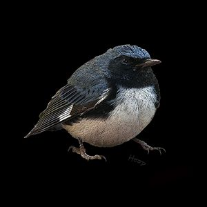 Black-Throated Blue Warbler - Duck Soup Gallery