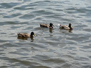 Three Ducks on a Lake