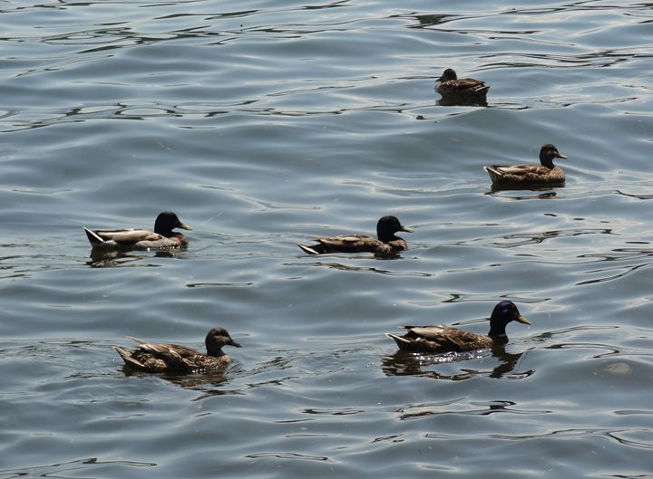 Ducks on a Lake - Rice Photography