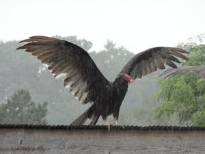 Turkey Vulture in the Rain