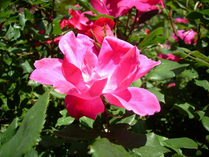 Pink Rose in Garden - Rice Photography