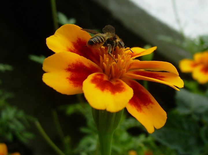 Bee on a Marigold Flower - Rice Photography