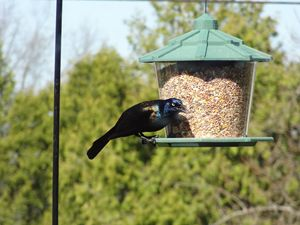 Common Grackle at the Bird Feeder - Rice Photography