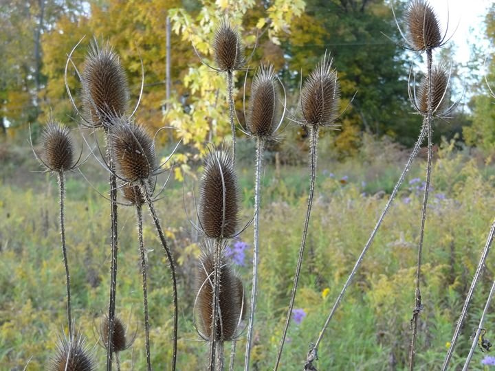Teasel Wildflower Stalks in Fall - Rice Photography
