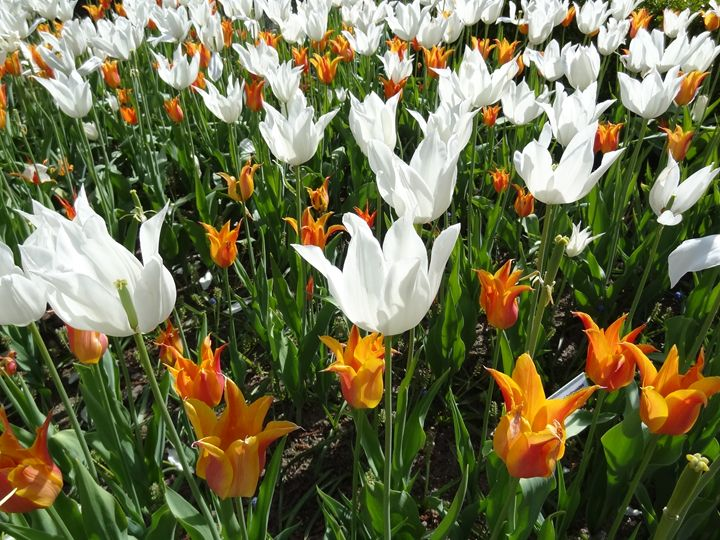White and Orange Tulips in Spring - Rice Photography