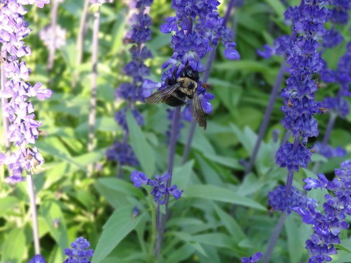 Bumblebee on Purple Garden Flowers - Rice Photography