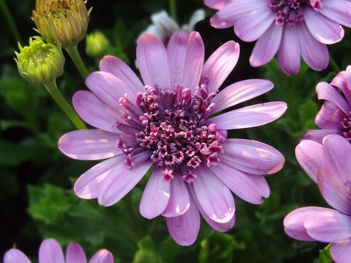 Purple Garden Flower - Rice Photography