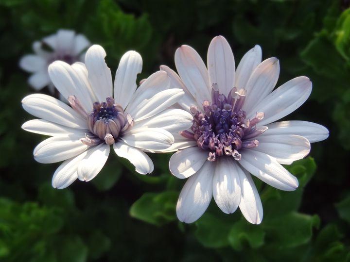 Garden Flower Pair - Rice Photography
